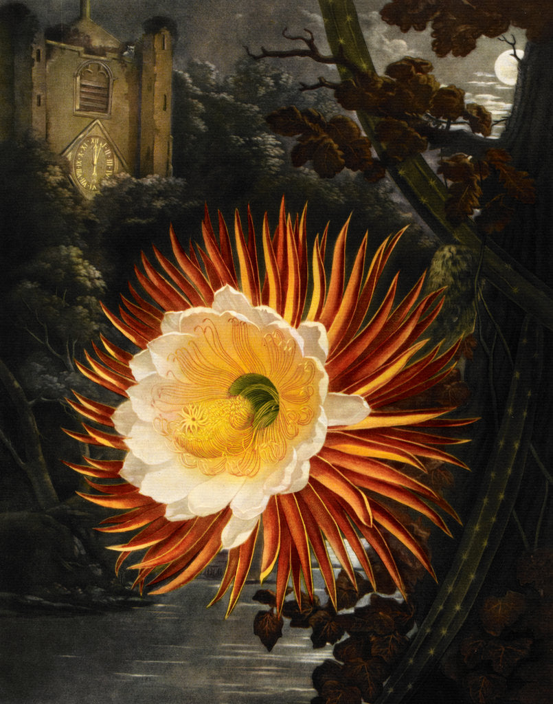 Detail of Selenicereus (Night-flowering cactus) by Robert John Thornton