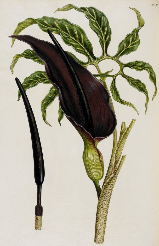 Detail of Arum by Ferdinand Bauer