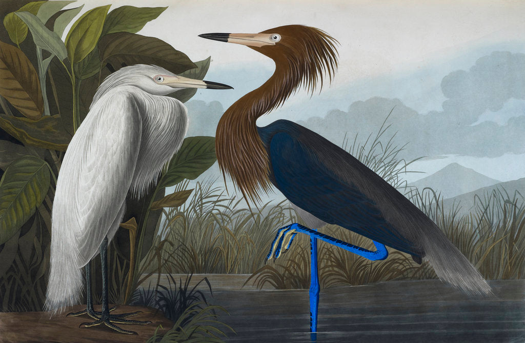 Detail of Audubon's Purple herons (Ardeo refescens) by John James Audubon