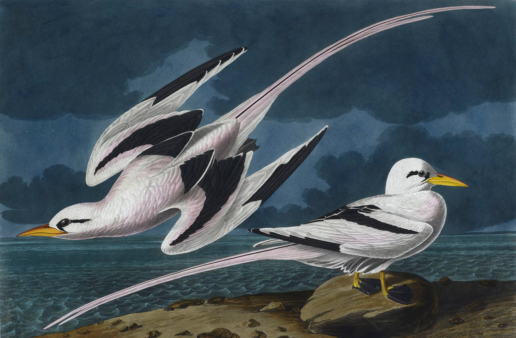 Detail of Tropic birds by John James Audubon