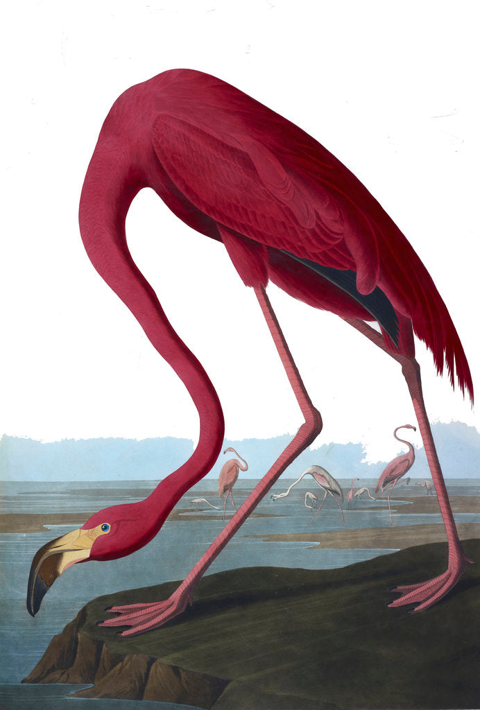 Detail of Flamingo by John James Audubon