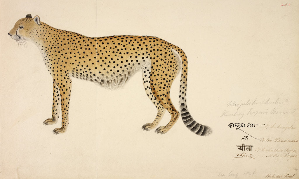 Detail of Asian Cheetah by Haludar