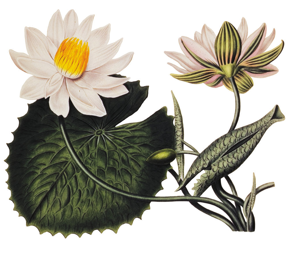 Nymphaea lotus by Anonymous