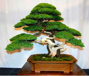 Bonsai tree potted flowers (seeds)