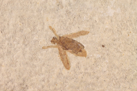 Fossil Insect - 50 Million Years Old