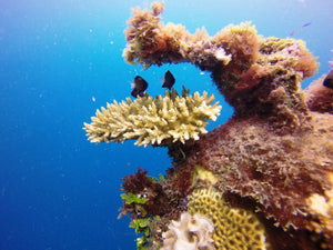 Coral Gardening: Rehabilitating Taveuni's Reefs with Makaira Resort