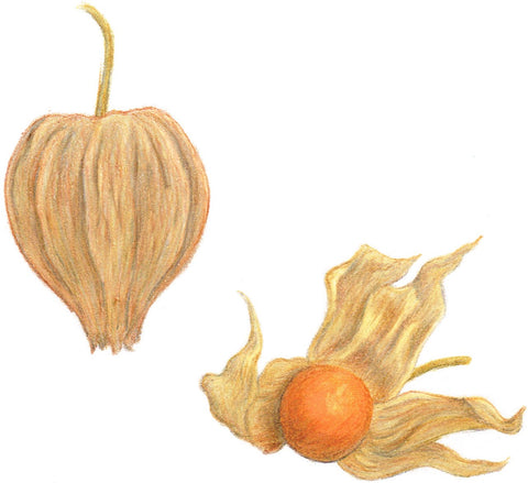 cape gooseberry - Giant