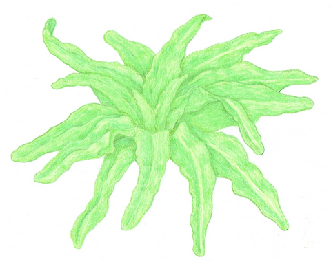 lettuce - Lau's Pointed Leaf
