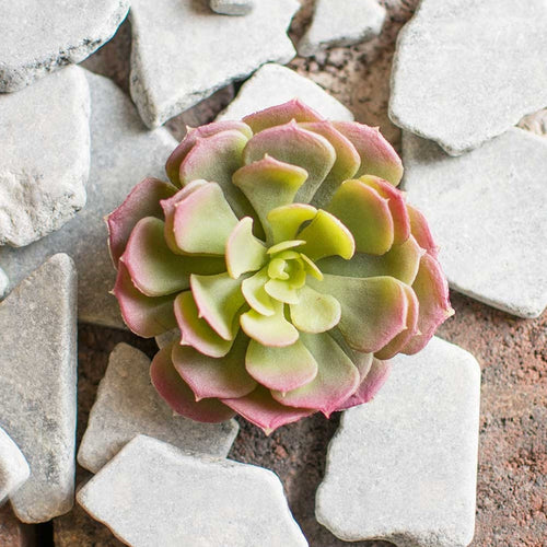 Succulent Rosette, Realistic Flower, 3.5 inch Bloom, Green & Purple