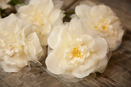 Add these unscented roses to your restaurant for year round decor as they stay forever in bloom and never wilt.