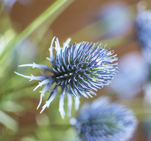 This 36 inch long stem holds 7 thistle blooms, each 1.25 inches in diameter.