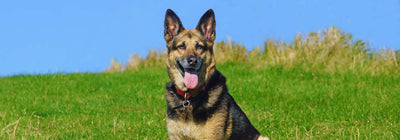 German Shepherd-Dog Breed