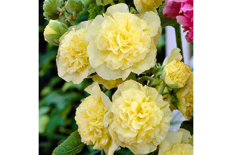 Alcea 'Chaters yellow' (σπόροι)