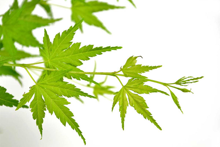 Acer palmatum 'Going Green'® - Άτσερ