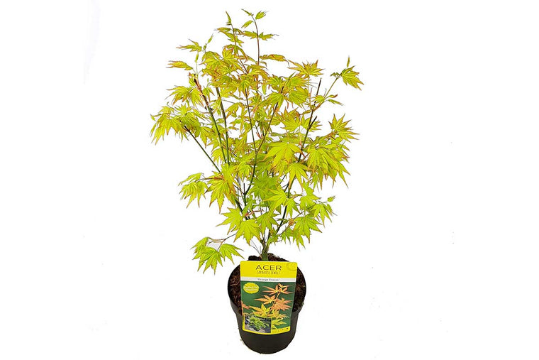 Acer palmatum 'Orange Dream'® - Άτσερ