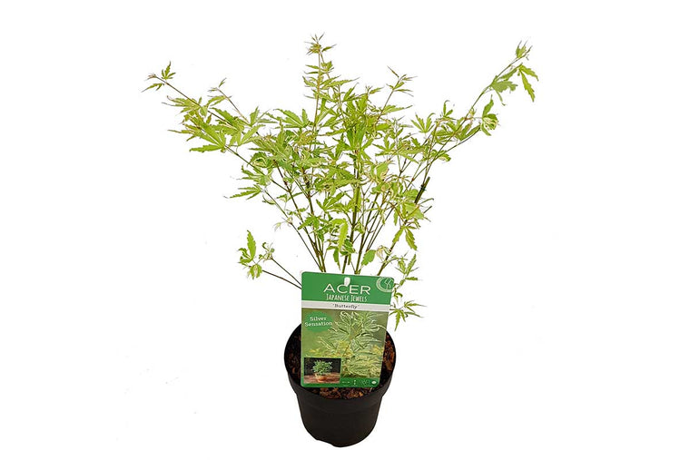 Acer 'Butterfly'® 15cm - Άτσερ
