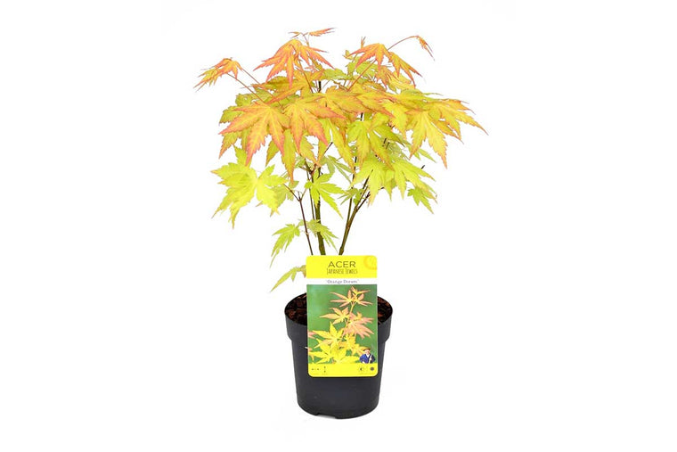 Acer palmatum 'Orange Dream'® 10cm - Άτσερ