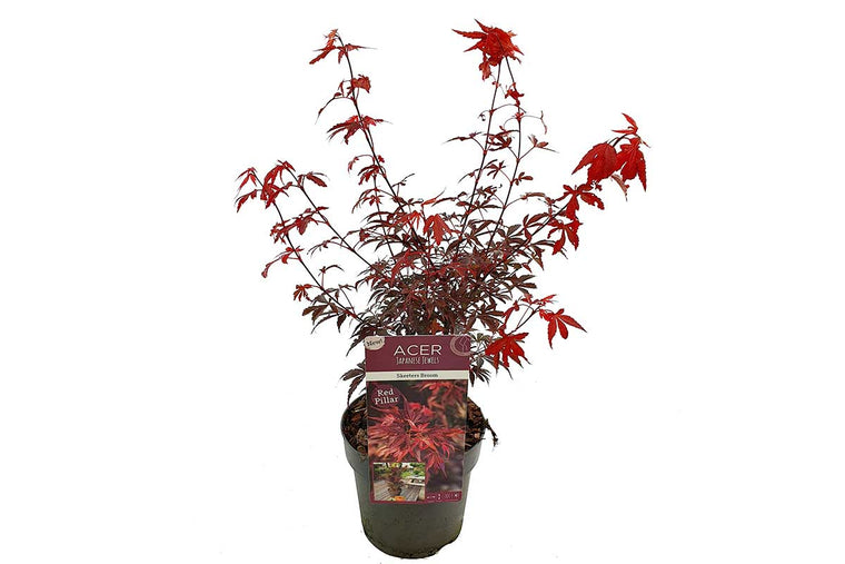 Acer palmatum 'Skeeter's Broom'® 19cm - Άτσερ