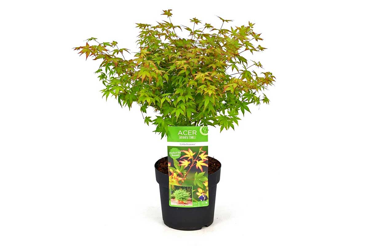 Acer palmatum 'little princess'® - Άτσερ