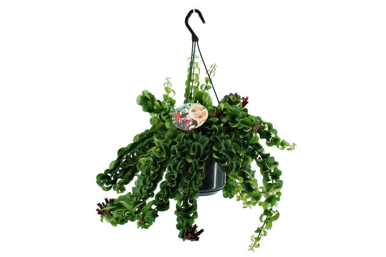 Aeschynanthus 'Twister XL' hanging basket
