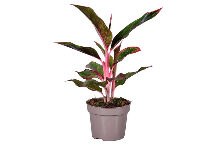 Aglaonema 'Light Pink Star' 12cm -Αγλαόνημα
