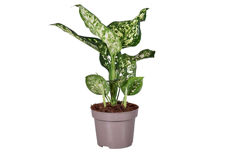 Aglaonema 'White Star' 12cm -Αγλαόνημα