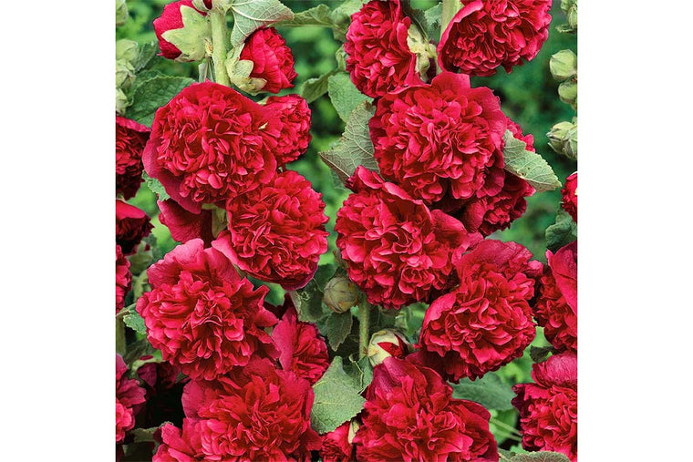 Alcea 'Chaters red' (σπόροι)