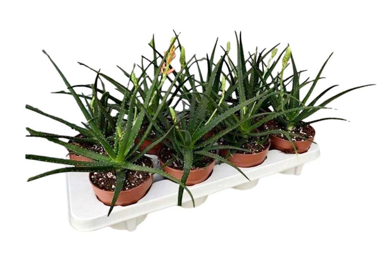 Aloe 'Safari Sunrise'® 12cm