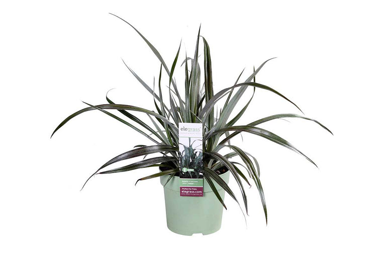 Astelia 'Silver Shadow'®  14cm