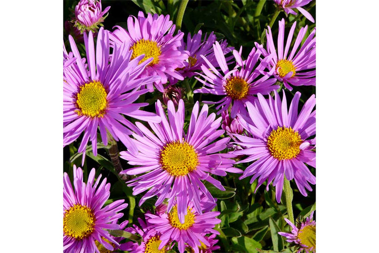 Aster 'Happy End' (σπόροι)