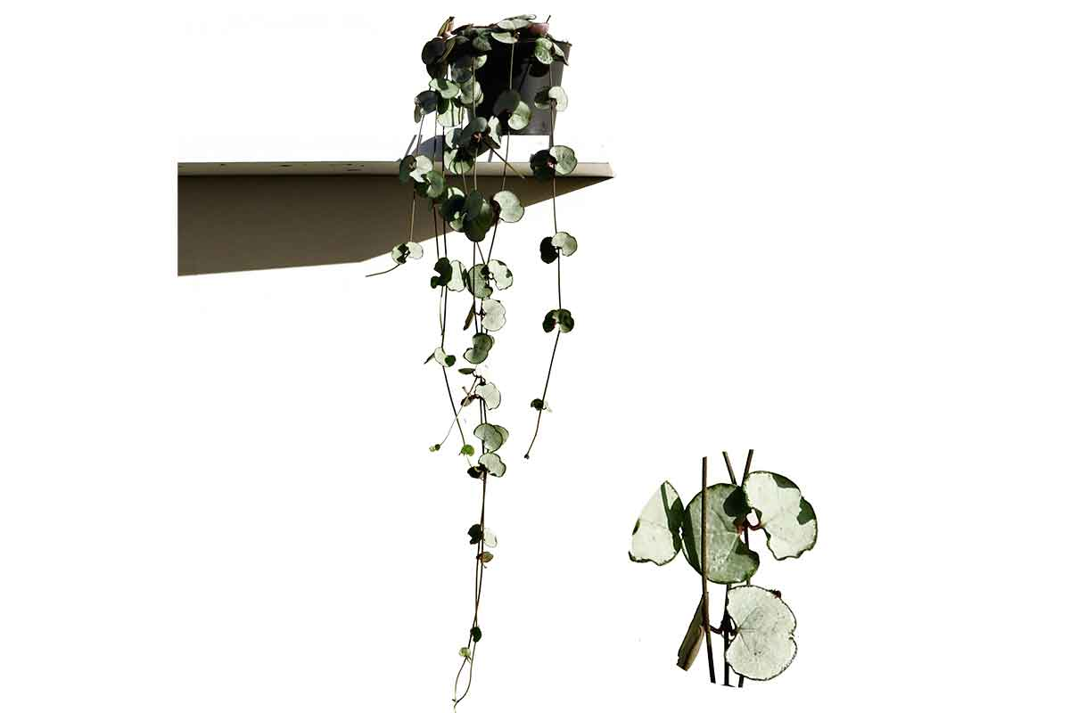 Ceropegia silver glory 8cm