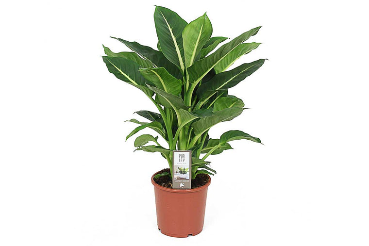 Dieffenbachia 'green magic' - Διφενμπάχια