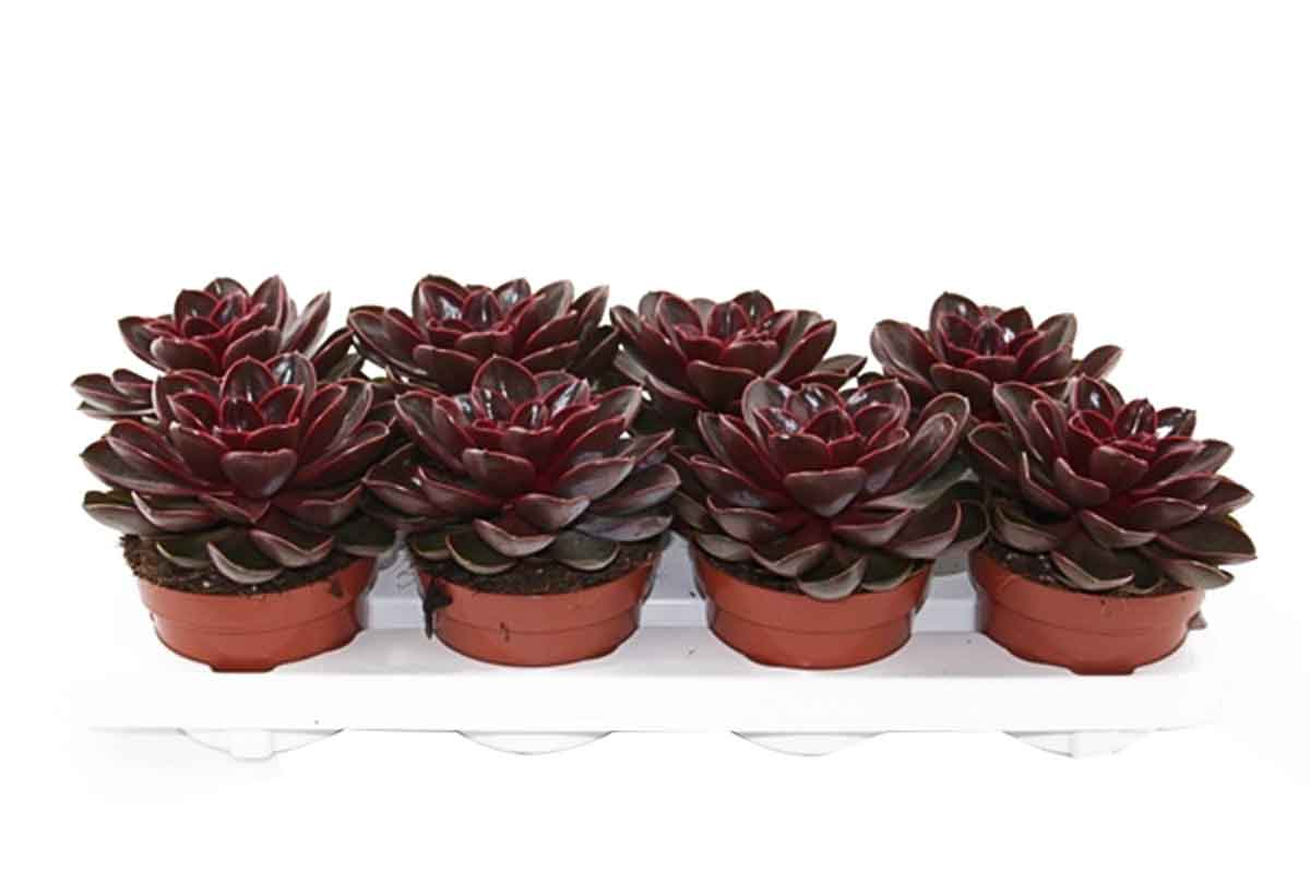 Echeveria 'Magic red' - Ετσεβέρια