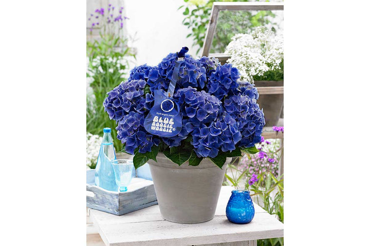 Hydrangea Music Collection® 'Blue Boogiewoogie' 17cm - Ορτανσία