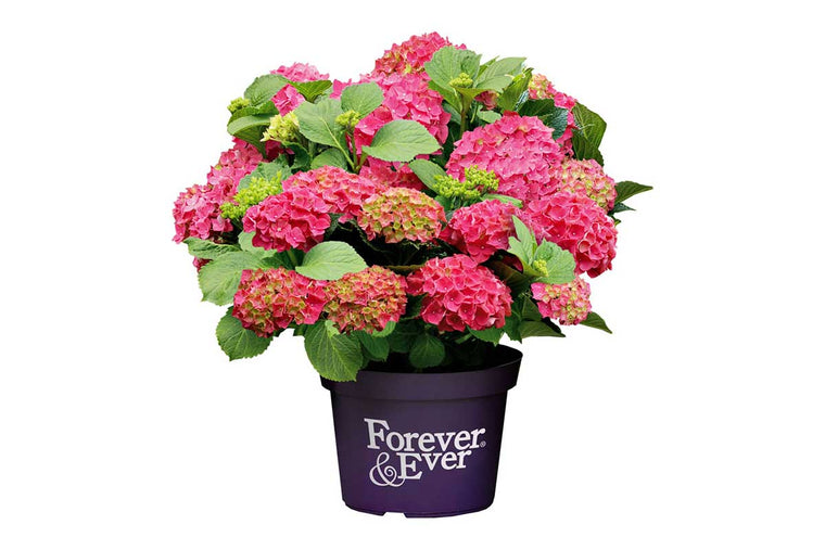 Hydrangea Forever & Ever® Red - Ορτανσία