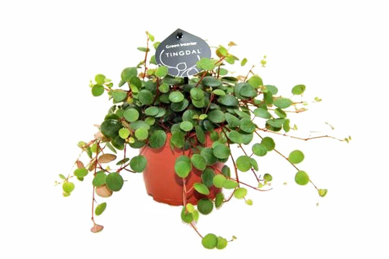 Peperomia pepperspot 11cm