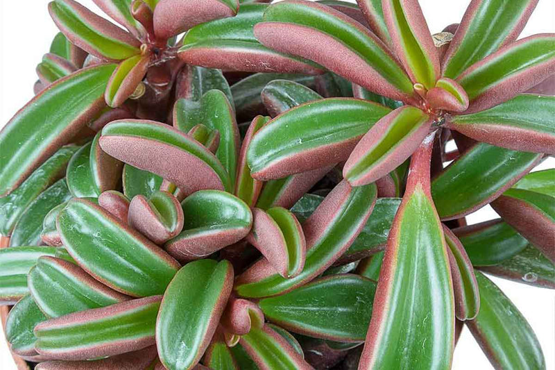 Peperomia graveolens - close up