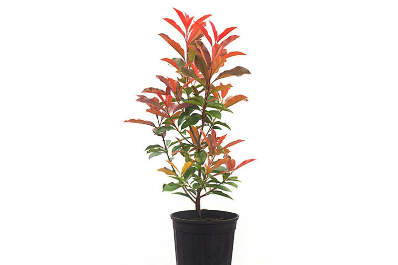Photinia fraseri 'red robin' 18lt - Φωτίνια