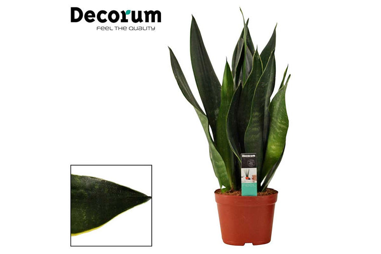 Sansevieria 'black diamond' 14cm - Σανσεβιέρα