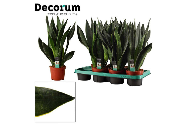 Sansevieria 'black diamond' 12m - Σανσεβιέρα