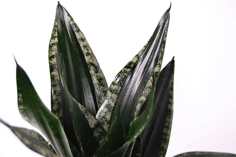 Sansevieria 'Star Green Granite' 9cm- Σανσεβιέρα
