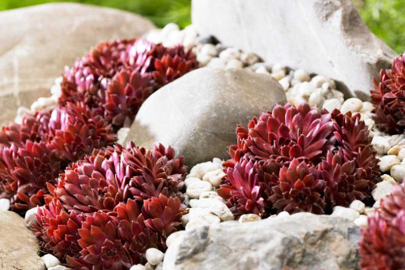 Sempervivum 'coral red'®