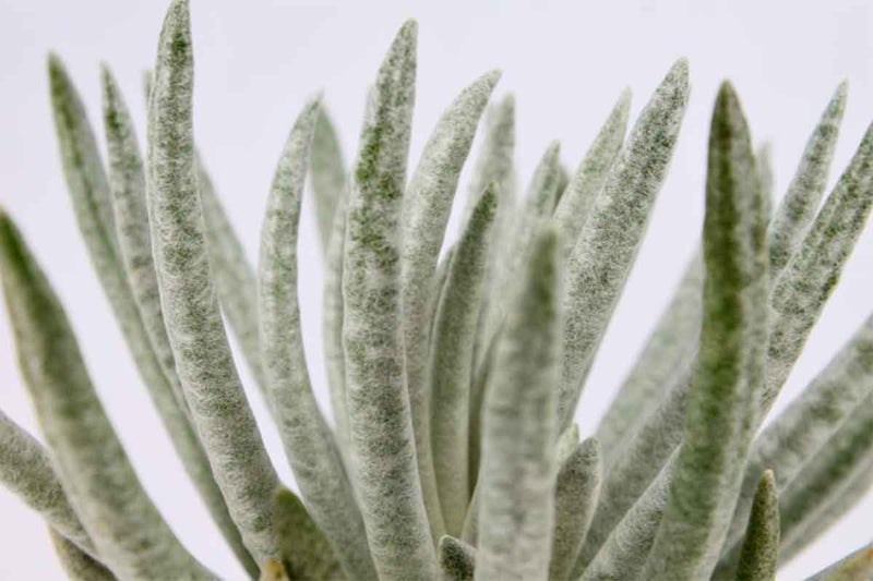 Senecio scaposus - close up