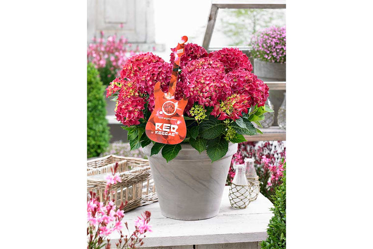 Hydrangea Music Collection® 'Red Reggae' 17cm - Ορτανσία