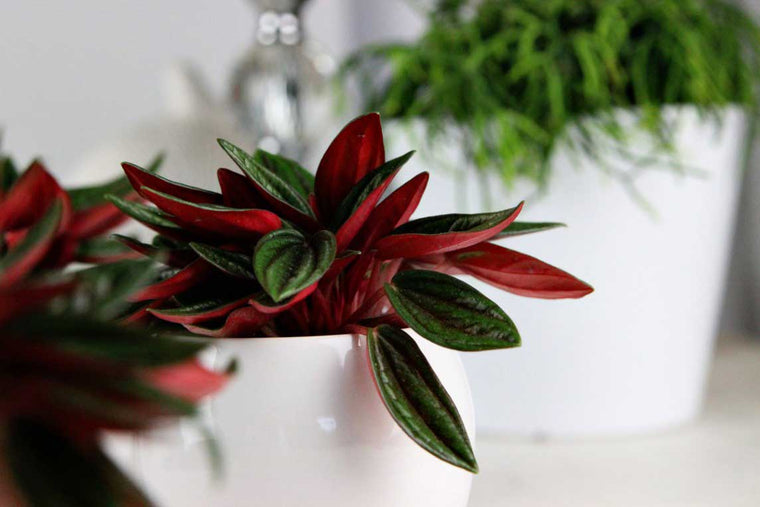 Peperomia 'Rosso' - Πρόταση διακόσμησης