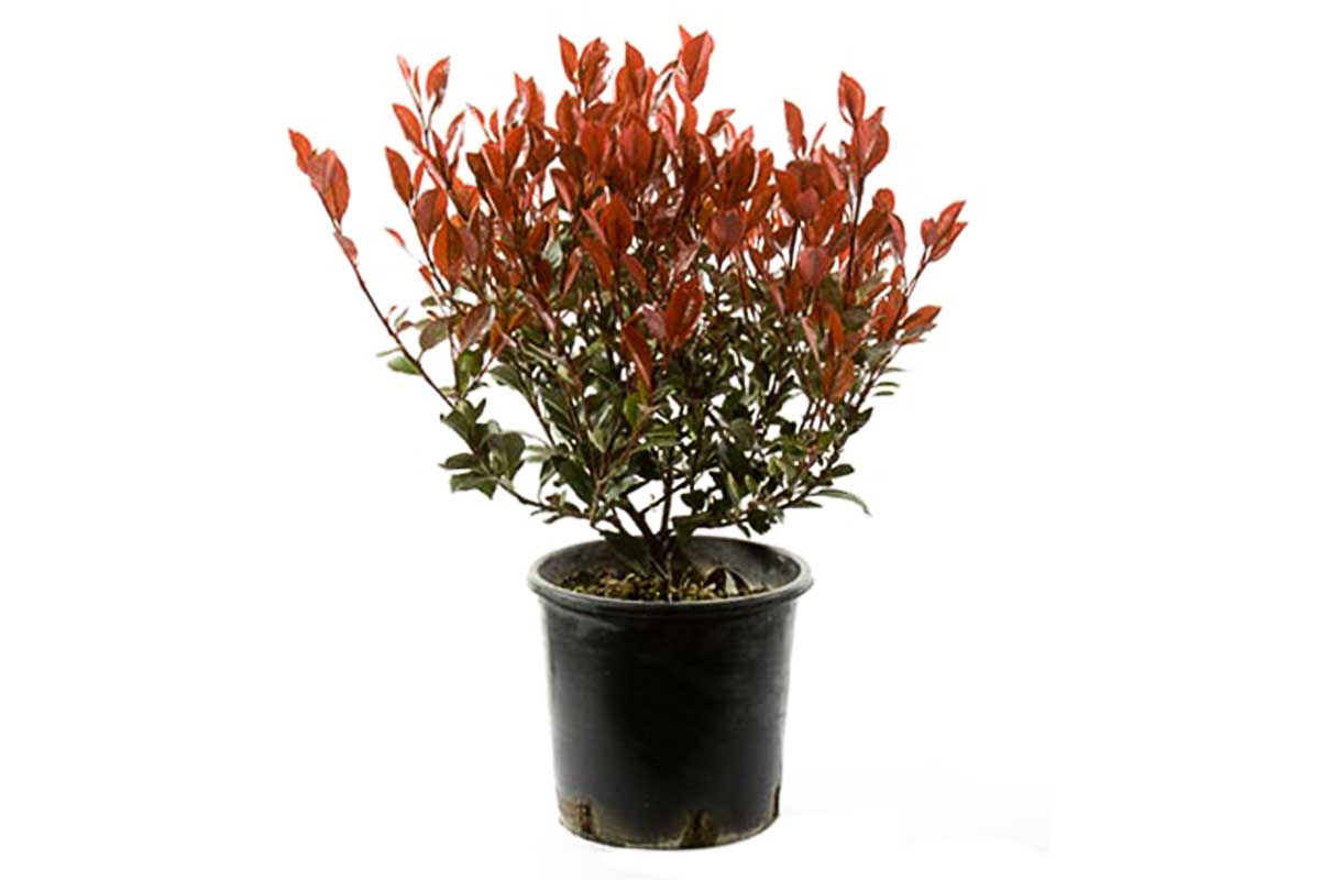 Photinia fraseri 'little red robin' - Φωτίνια νάνα