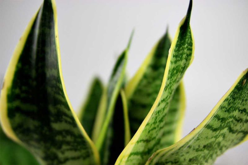 Sansevieria 'futura superba' - close up