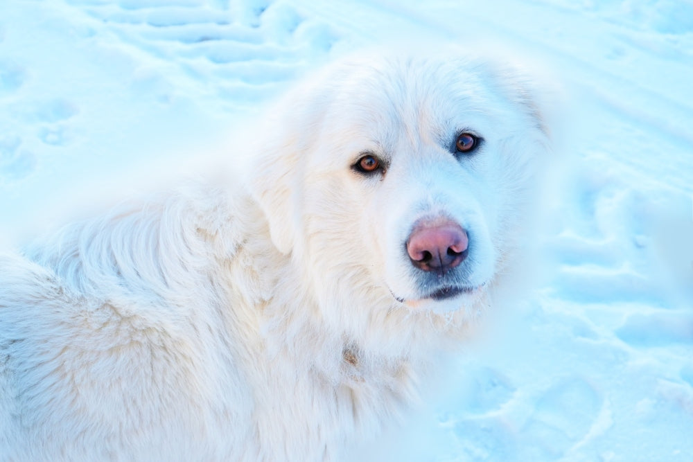 How Cold Weather Impacts Dogs' Paws