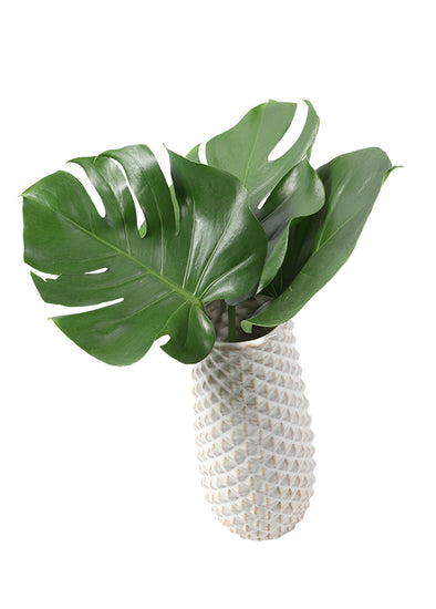 Monstera, 3-pack