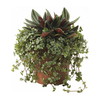 Jungle Jewels Pilea + Peperomia rosso liten